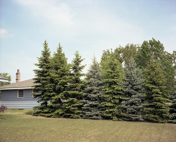 Eight Pine Trees; Elk River, MN